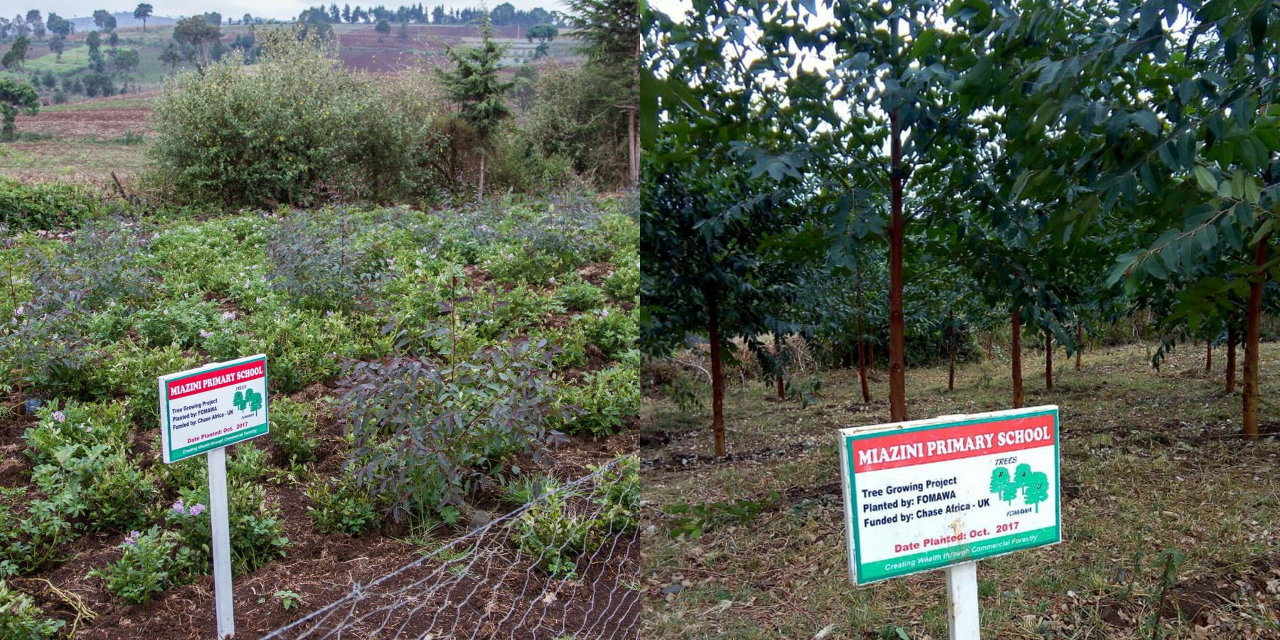 Miazini School - a year of tree growth comparison